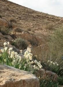 Blumen im Negev