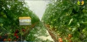 ISRAEL Innovative Förderung der Bienen-Aktivität in Gewächshäusern